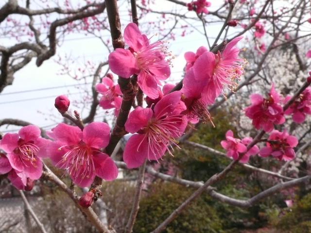 2008.3.23 青梅  001.jpg